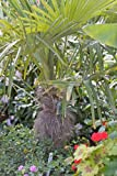 Trachycarpus fortunei (Chusan palm) 5 ltr pot