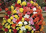 Just Seed - Flower - Begonia Supercascade Mixed F1 - 50 Pelleted Seeds - Large Pack