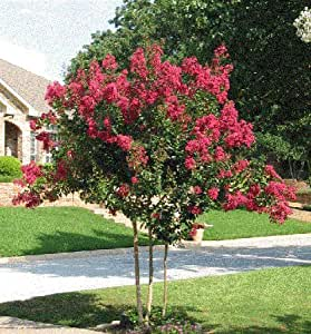 Tonto crapemyrtle tree 4 feet tall in 3 for Trees that stay small