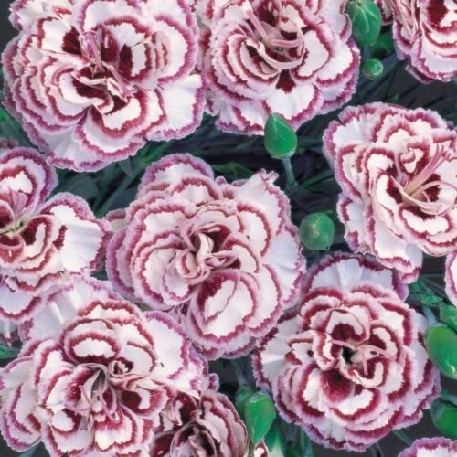 South Eastern Horticultural Pack X6 Dianthus 'Grans Favourite' Pinks Perennial Garden Plug Plants