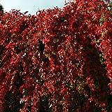 Garden House Parthenocissus quinquefolia - Virginia creeper. American Woodbine, Perpetual climber / groundcover; Orange & Scarlet Autumn Colour