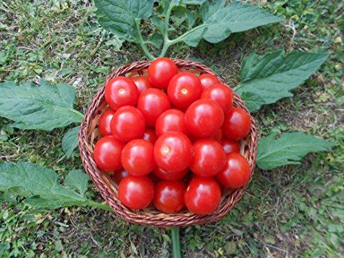 mexikanische-honigtomate-10-samen-zuckersuss-momentan-teuersten-tomaten-sorten