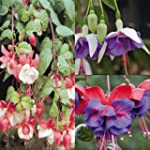 Fuchsia Collection - 9 plantes