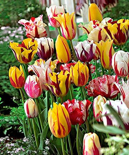 bakker-tulipani-triumph-in-mix-rembrandt-1-confezione-da-15
