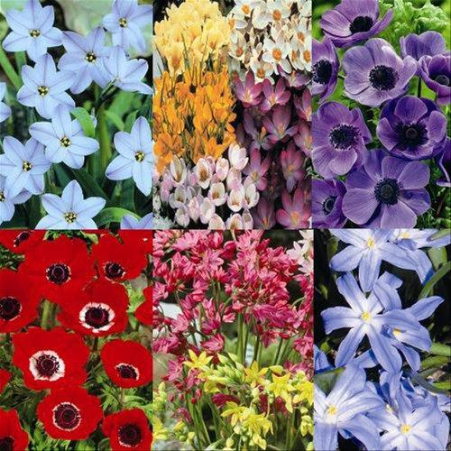 April until June garden Set of 150 bulbs - 150 Flower Bulbs