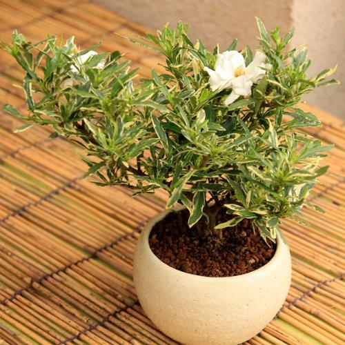 ミニ盆栽:斑入りクチナシ(梔子)/ガーデニア*【瀬戸焼鉢(白)】