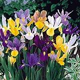 40 Dutch Iris Bulbs, Mixed---Perfect for Fall Planting!
