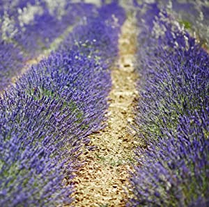 Hidcote Blue Lavender Herb 100 Seeds By Earthcare Seeds