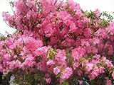 シャクナゲツツジ樹高40cm前後 ツツジの女王☆希少な品種☆