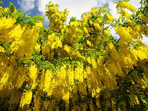 2x-golden-chain-laburnum-anagyroides-15cm-tall-healthy-starter-plants-mature-tree-has-masses-of-yell