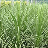 3 X CORDYLINE 'AUSTRALIS' EVERGREEN TREE CABBAGE PALM HARDY GARDEN PLANT IN POT