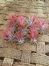Airplants Tillandsia Ionantha Red From Seed 10 Pack (Grown and Shipped From California)