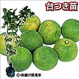 国華園 果樹苗 カンキツ カボス 台つき苗 1株