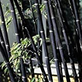 100Pcs Phyllostachys Pubescens Moso-Bamboo Seeds Garden Plants Black Tinwa Color(Black Bamboo Seeds)