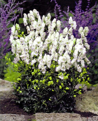 Buy 'Eleanor' English Monkshood – Aconitum -Shade
