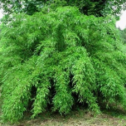 fargesia-murielae-umbrella-bamboo-live-clumping-plant-for-hedge-or-specimen