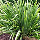 Phormium Tenax in a 2 Litre Pot - Approximately 40cm Tall - Evergreen New Zealand Flax Lily