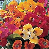 Nemesia Carnival Mixed 100 Seeds