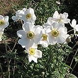 シュウメイギク(秋明菊):白花一重3号ポット9株セット[花壇・切花に人気の秋の花]