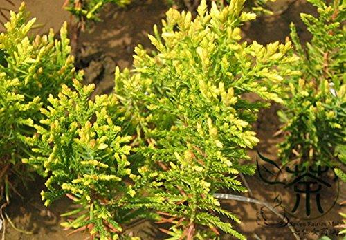 arbol-de-hoja-perenne-arbusto-sabina-chinensis-aurea-semillas-1000pcs-excelente-oro-semillas-de-eneb