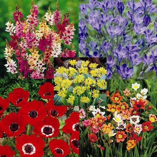 Spring/Summer Prom garden (200 bulbs) - 200 Flower Bulbs