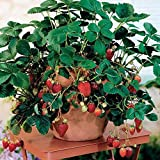 Potted Strawberry Seeds by National Gardens