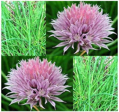 ONION CHIVES - FRENCH CULINARY CHIVE seeds - HERB - DECORATIVE AND EDIBLE - Grown For It's Leaves culinary calculations