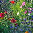 Earthcare Seeds Wildflowers for Shade 10,000 Seeds