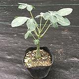 多肉植物:アデニア・グラウカ*塊幅1.5cm