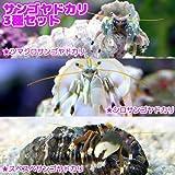 (海水魚 ヤドカリ)サンゴヤドカリ 3種セット(1セット) 本州・四国限定[生体]