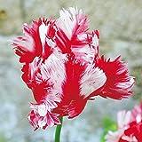 Tulipe Perroquet Estella Rynveld - 10 bulbes de fleurs