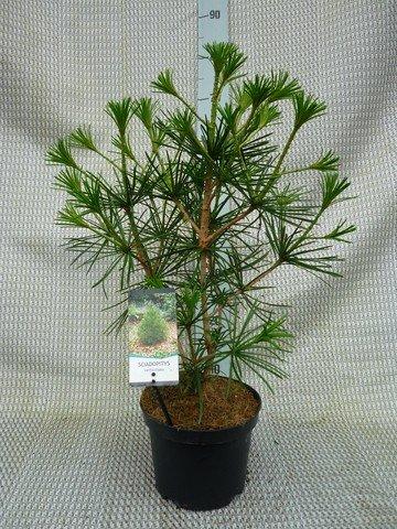 Japanische Schirmtanne - Sciadopitys verticillata - Gesamthöhe: 30cm, topf: 3 ltr.