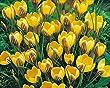 Pack 20 Crocus Bulbs Chrysanthus 'Gipsy Girl' WPC Prins Quality Spring Bulbs