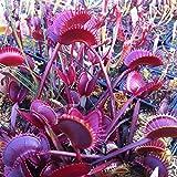 3カテゴリハエトリソウ種子盆栽鉢植えハエジゴクMuscipula植物種子テラスガーデン食虫植物種子1パッケージ120個