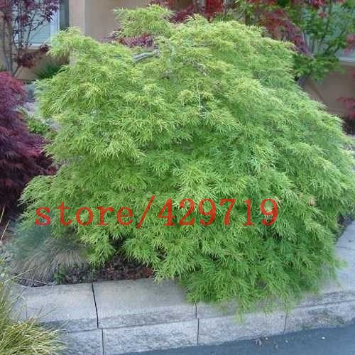 20 pcs japanese maple tree seeds cut leaf mini bonsai on office desk