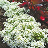 Suttons Seeds 101016 Alyssum Snow Carpet Seed with Improved Strain