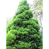 1 Starter Plant of Cryptomeria japonica Radicans Tree in Gallon Pot