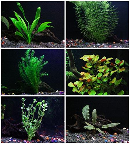 25+ stems / 6 species Live Aquarium Plants Package - Anacharis, Amazon and more! (Aquarium Plants Package compare prices)