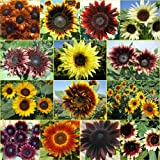 "50 Seeds, Sunflower ""Double Dance Mixture"" (Helianthus annuus) Seeds By Seed Needs"