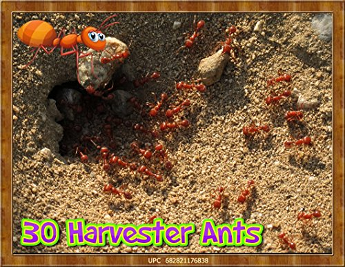 live-ants-for-ant-farms-with-free-ant-chow-30-healthy-red-harvester-ants