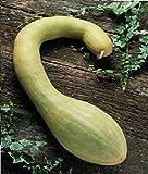 Vegetable - Courgette - Tromboncino Albenga - 500 Seeds - Bulk Pack