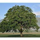 Baum des Jahres 2008 - Walnuss im Container Größe 125 bis 150 cm