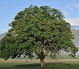 Baum des Jahres 2008 - Walnuss im Container Größe 80