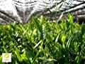 tea exclusive - BIO Matcha Tee Shizen aus Kyushu (Süd-Japan), 30g Beutel (wiederverschließbar) von tea exclusive bei Gewürze Shop