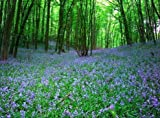#7: Native English Bluebell Seeds.- 20 Bluebell seeds