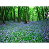 Bluebell - Native English Seeds.- 20 Bluebell seedsby Jack Smiths