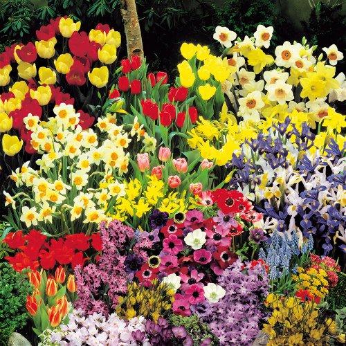 Hardy re blooming Spring Garden - 200 Flower Bulbs