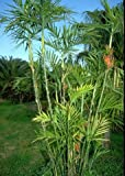 Bambuspalme 10 x Chamaedorea seifrizii Bambus Samen