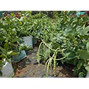 SEED Seller: Cowpea Vigna Unguiculata Seeds. ANSR Green Pods. Fast Growing, High Yielding, SEMI TRAILING Dual...