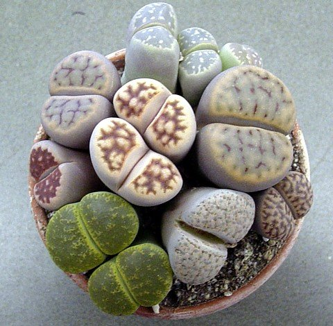 Buy Living Stones 10 Seeds- Lithops- Succulents! – FREE SHIPPING ON ADDITIONAL HIRTS SEEDS